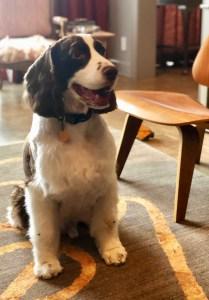 dog, English springer spaniel, Steve mckenzie's