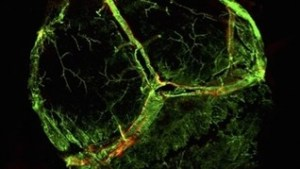 Newly-discovered lymphatic vessels, shown in red, were almost invisible behind larger blood vessels, shown in green (University of Virginia)