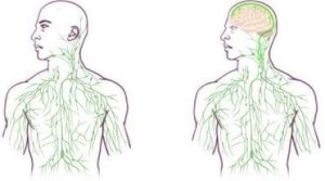 Lymphatic system maps: old (left) and updated (right) to reflect UVA discovery (University of Virginia Health System)
