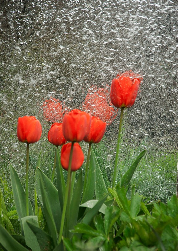 A_spray_of_tulips_By_micgrayson