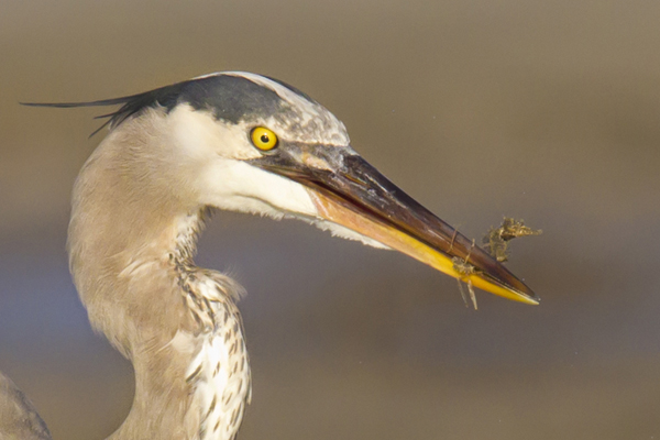 Great Blue Heron eating a Sea Horse