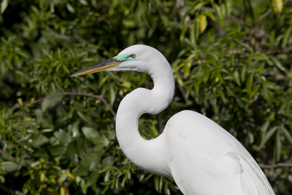 Great White Egret with breeding colors - Gatorland