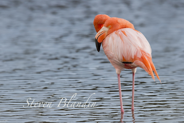 Flamingo - Isabela, Galapagos islands