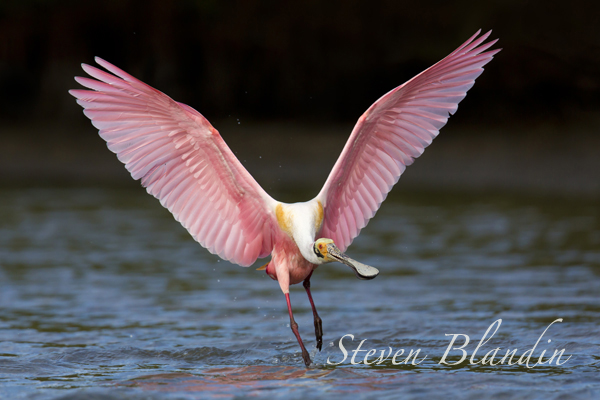 Roseate Spoonbill at Alafia Banks - Florida