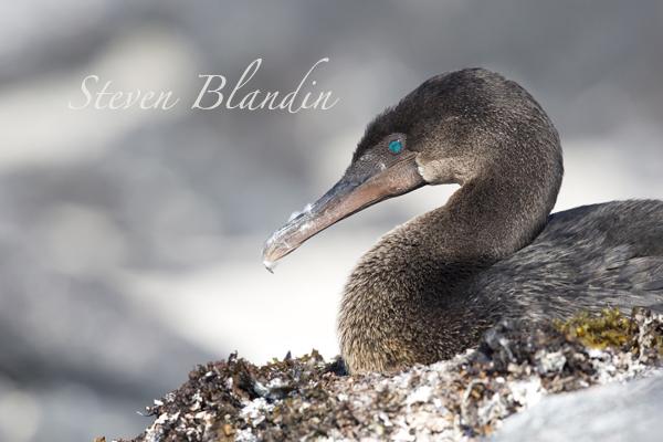 Flightless Cormorant at the seaweed nest - Galapagos Islands