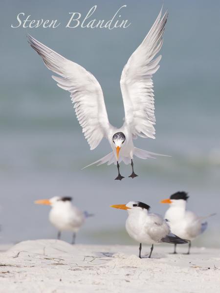 Royal Tern in flight - Thalasseus maximus