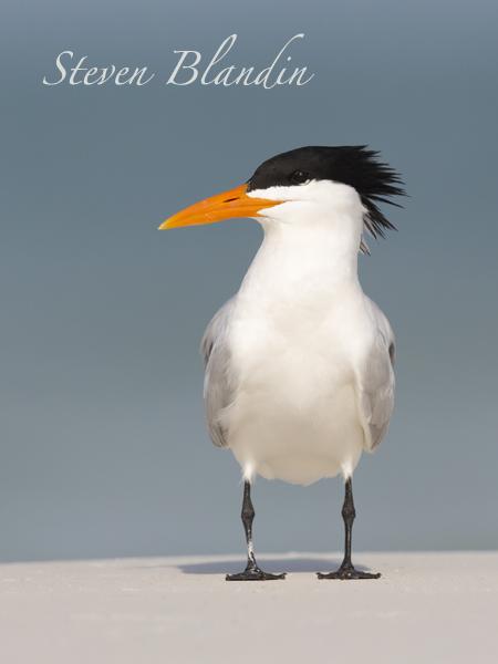 Royal Tern at Fort Desoto with breeding plumage
