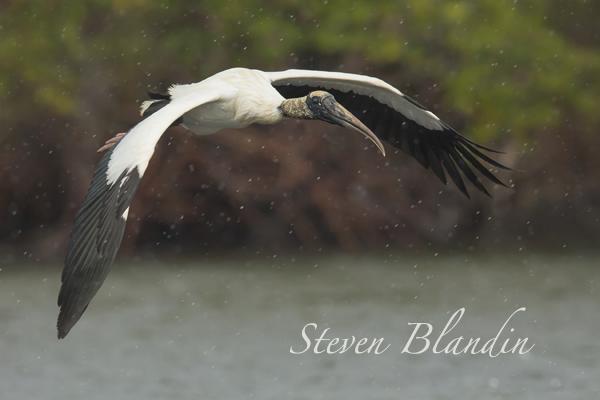 Wood Stork (Mycteria americana) - Dit Dot Dash, Florida