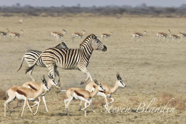 Plain Zebra running - Nxai Pan, Botswana
