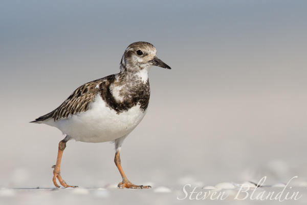 Rudy Turnstone at Fort Desoto - Florida
