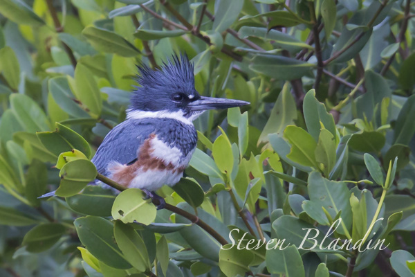 Belted Kingfisher - Fort Desoto