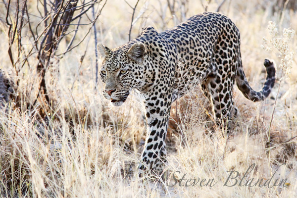 Leopard - Savuti, Botswana