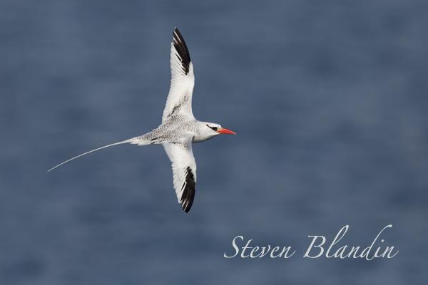 Red-billed Tropicbird banking in flight