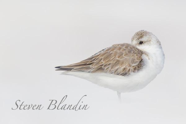 Sanderling sleeping - Florida shorebird photography workshops