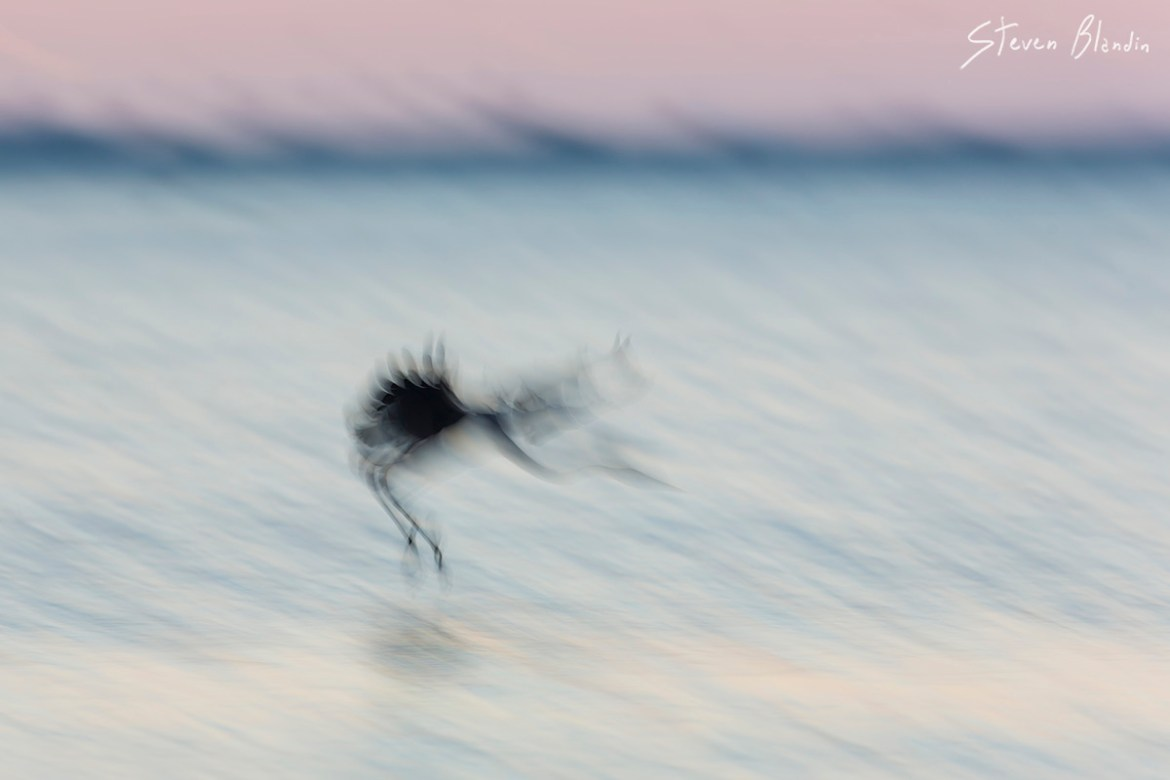 Great Blue Heron landing blur - Fort Desoto, Florida