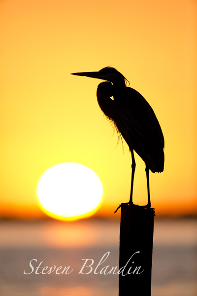 Great Blue Heron silhouette at sunset - Florida photography workshop