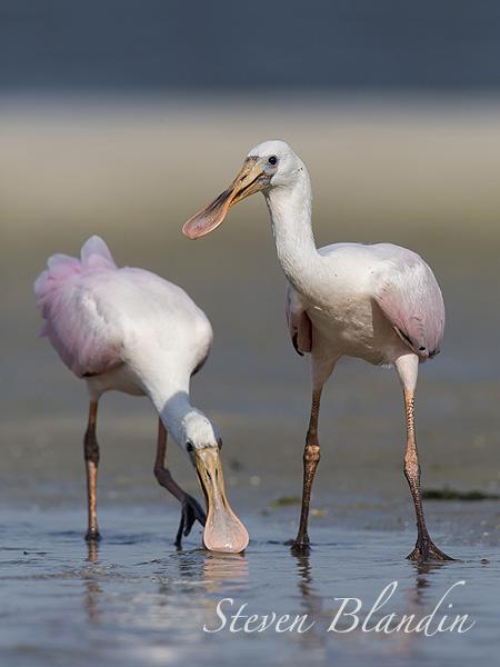 Young juvenile Spoonbills - Florida bird photo tour