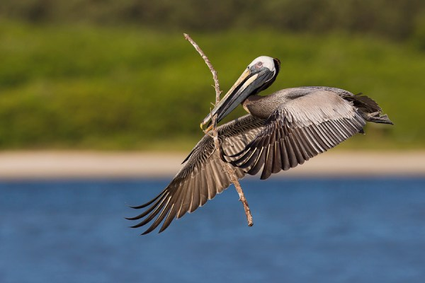 Brown Pelican photography tour - Alafia Banks, Florida