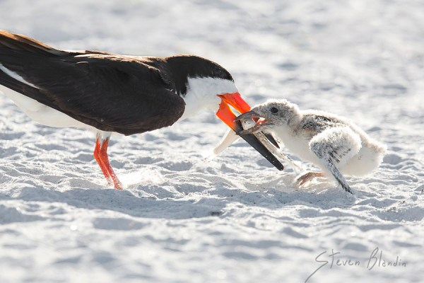 Black Skimmer feeding chick - Indian Shores, Florida