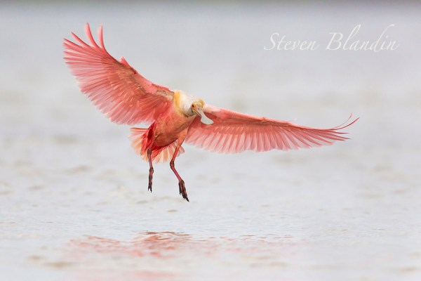 Spoonbill photography tour in Florida