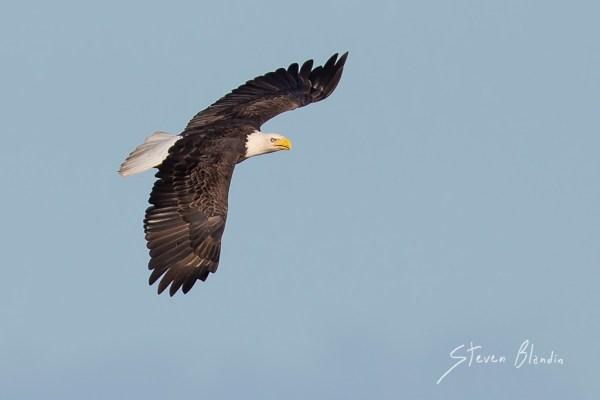 Bald Eagle in flight - Lakeland, Florida