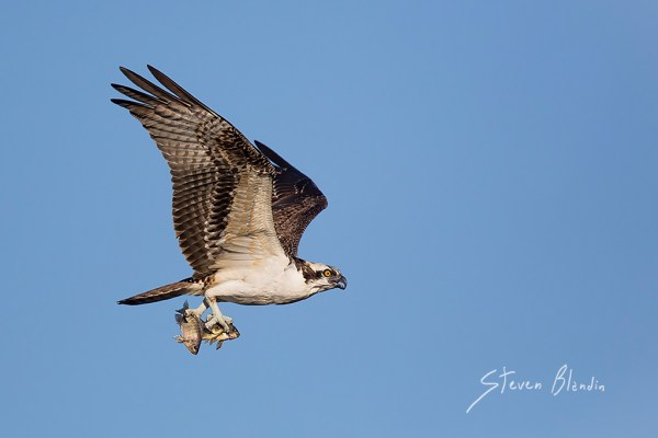Osprey with fish in its talents