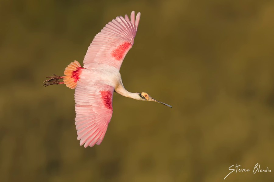 Spoonbill banking - Photography Workshop
