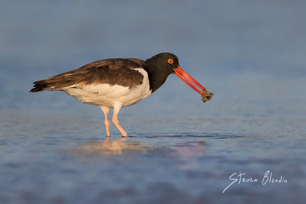 American Oystercatcher with horseshoe crab in its beak