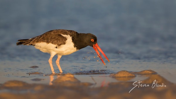 American Oystercatcher - Fort Desoto, Florida