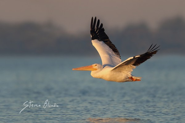 American White Pelican in flight - Sarasota Bay, Florida
