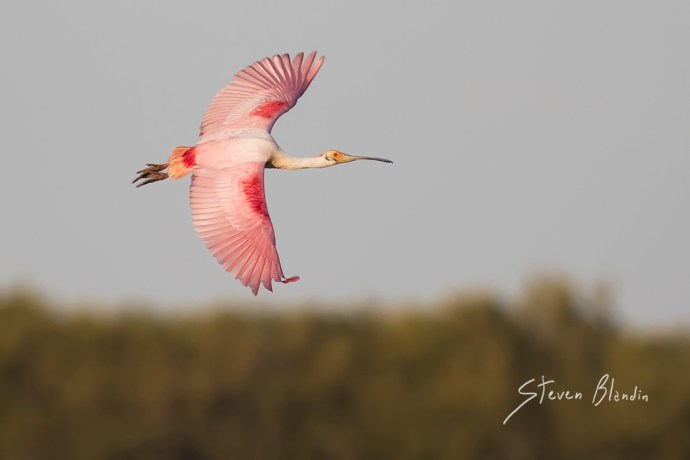 Roseate Spoonbill banking in flight above the mangrove tree line - Florida