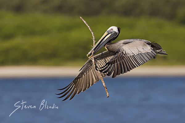 Brown Pelican in flight - Florida Photo Tour