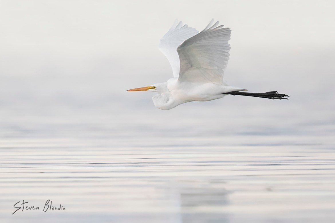 Great White Egret - Fort Desoto, Florida