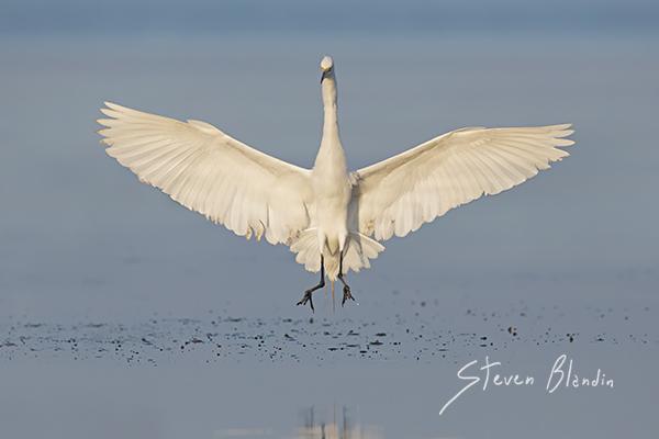 Great White Egret landing - Sarasota Bay