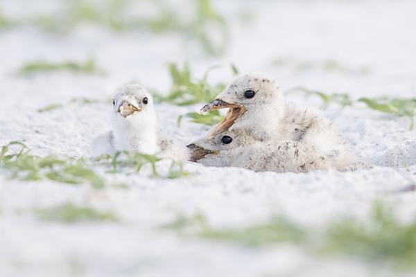 Black Skimmer chicks - Indian Shores, Florida