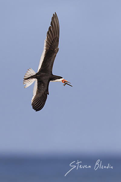 Black Skimmer banking in flight with prey - Indian Shores, Florida