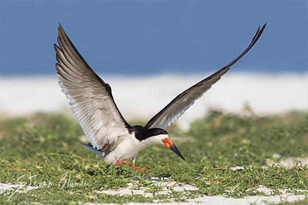 Black Skimmer landing - Indian Shores, Florida