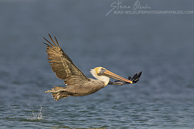 Brown Pelican taking off - Fort Desoto, Florida
