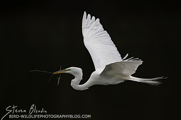 Great White Egret with breeding feathers in flight - Florida photography