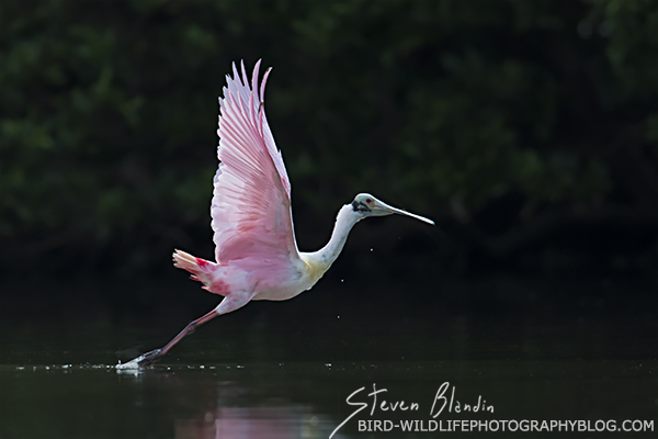 Spoonbill taking off with backlit lighting - Florida photography tour
