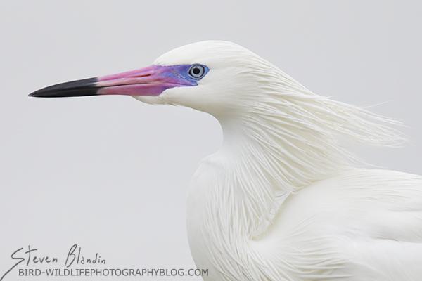 White Morph Reddish Egret with breeding colors
