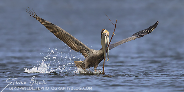 Brown Pelican taking off with a branch