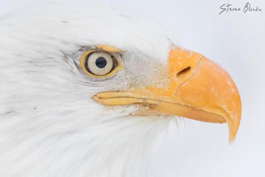 Alaska Bald Eagle portrait