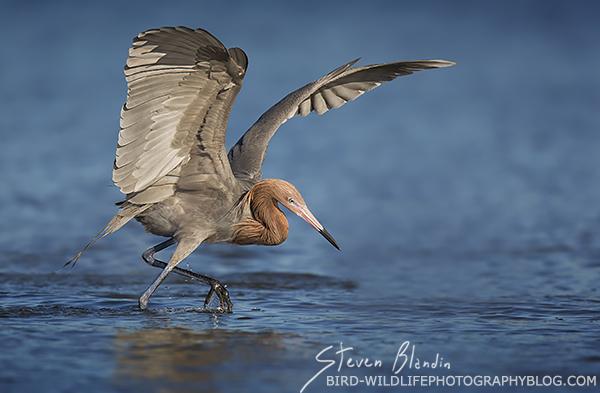 On The Hunt - Reddish Egret