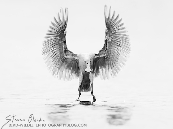 Roseate Spoonbill - Black and White fine art bird photography