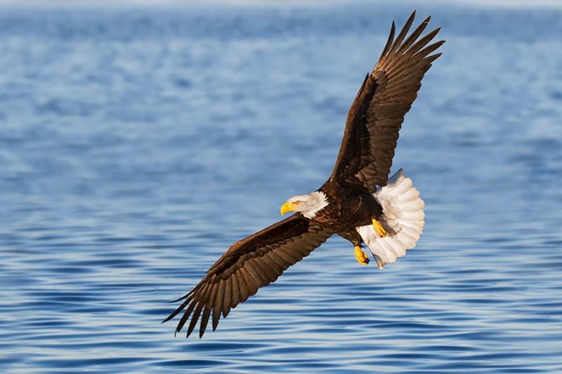 Alaska Bald Eagle in Flight