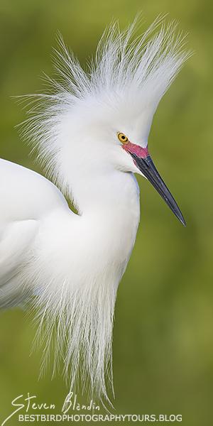 Snowy Egret with breeding colors - Orlando, Florida