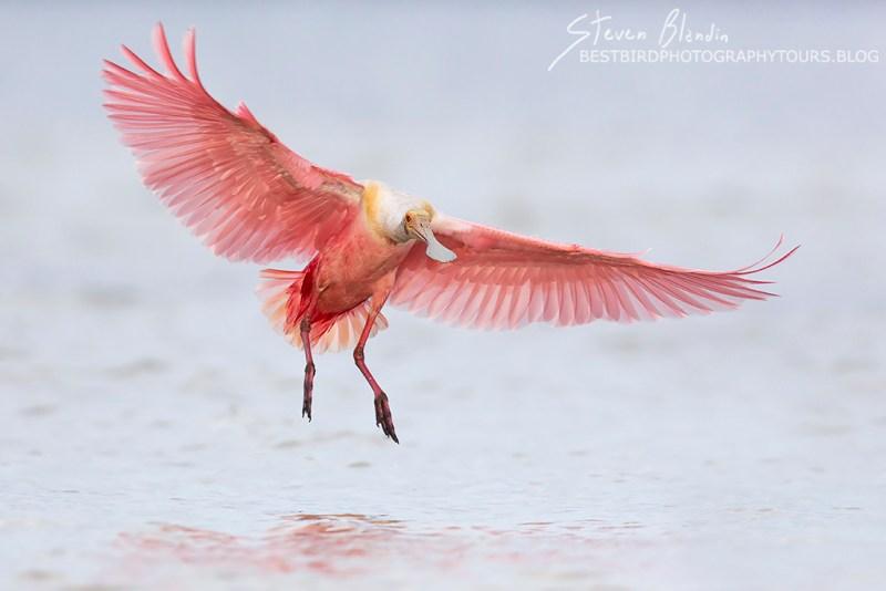 Roseate Spoonbill landing - Tampa Bay, Florida