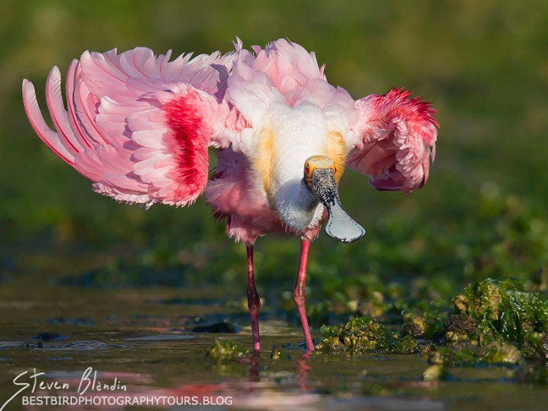 Roseate Spoonbill with breeding colors - Florida Photography Tour