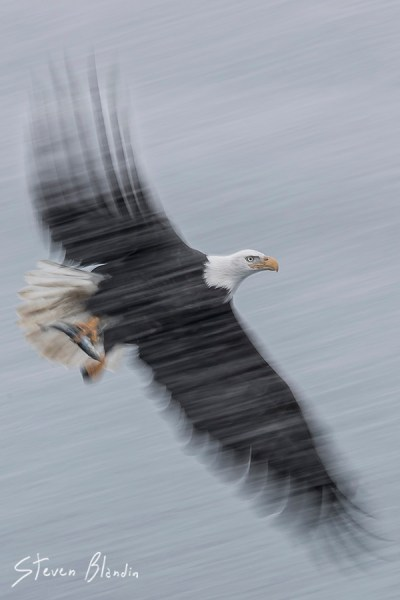 Bald Eagle blur - Alaska photography tour